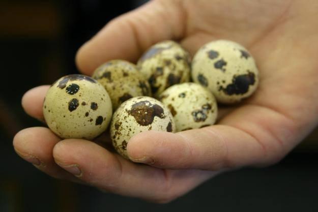 Buy Quail Eggs
