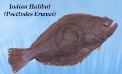Indian halibut