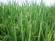 Hybrids Sorghum Suddan Grass ( SSG )