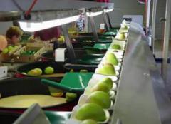 Mango Graders
