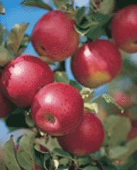 Kullu apples
