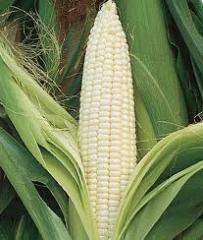 Fodder Corn Seed