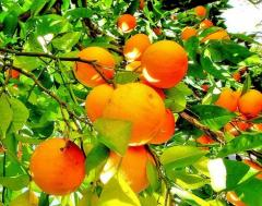 Yellow Oranges