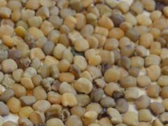 Forage seeds/Guar seeds/Cluster beans -gawar seeds
