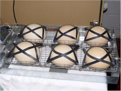 Fertile ostrich eggs and chicks available