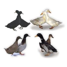 Kaczki mięsne
