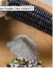 Corn Purple Color Hybrid F1