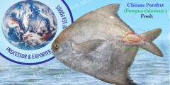 CHINESE POMFRET (Pampus chinensis)