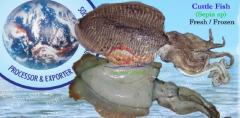 CUTTLE FISH (Senia Sp)