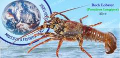 ROCK LOBSTER (Panulirus Longipes)