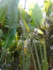 Ravenala Madagascanriensis