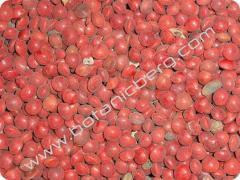 Cassia javanica Nodosa seeds