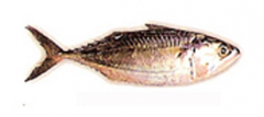 Indian Mackerel