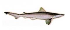 White Cheeked Shark