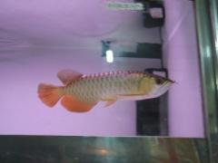 HEALTHY QUALITY AROWANA FISHES AVAILABLE FOR SALE