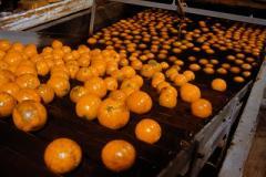 Pakistan oranges
