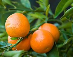 Fresh Kinnow Mandarin - Fresh Orange