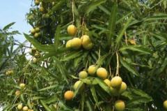Fresh Farm Pakistani Organic Mango