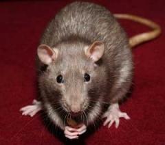 Rats Control