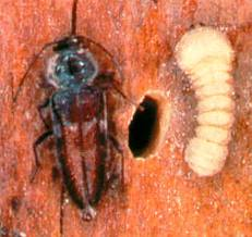 Wood borer treatment
