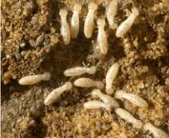 Termite control